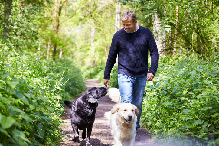 A middle aged man walking two Labradors on a woodland path
