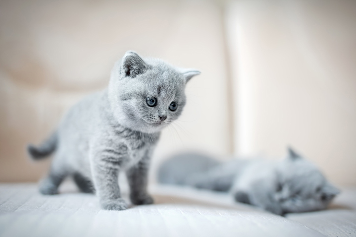 A pair of grey kittens on a sofa