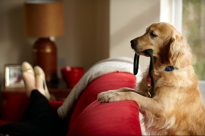A dog with its front legs on the back of a sofa with a lead in its mouth