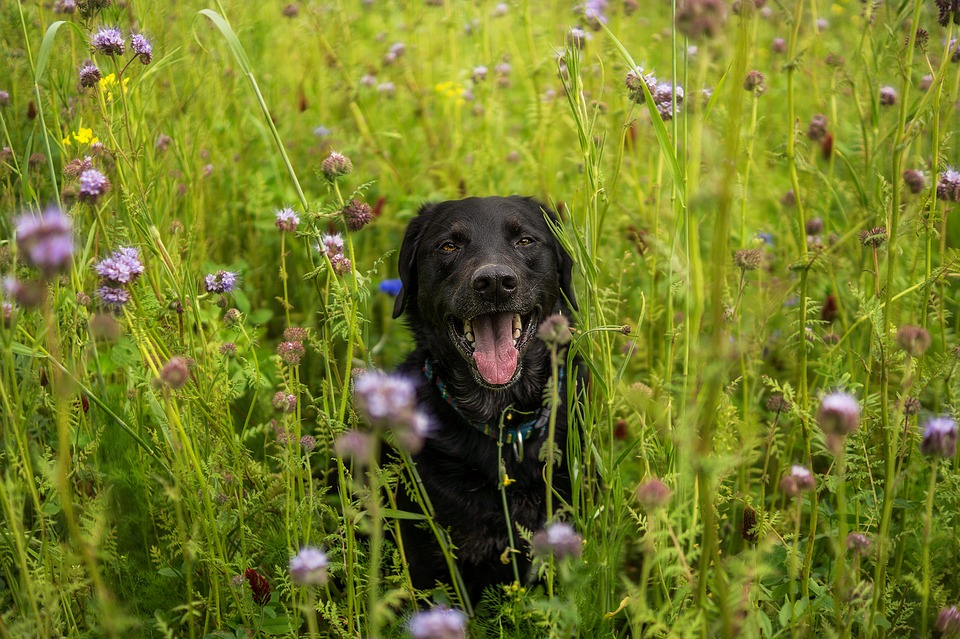 A dog hiding in a long grassed meadow surrounded by wild flowers