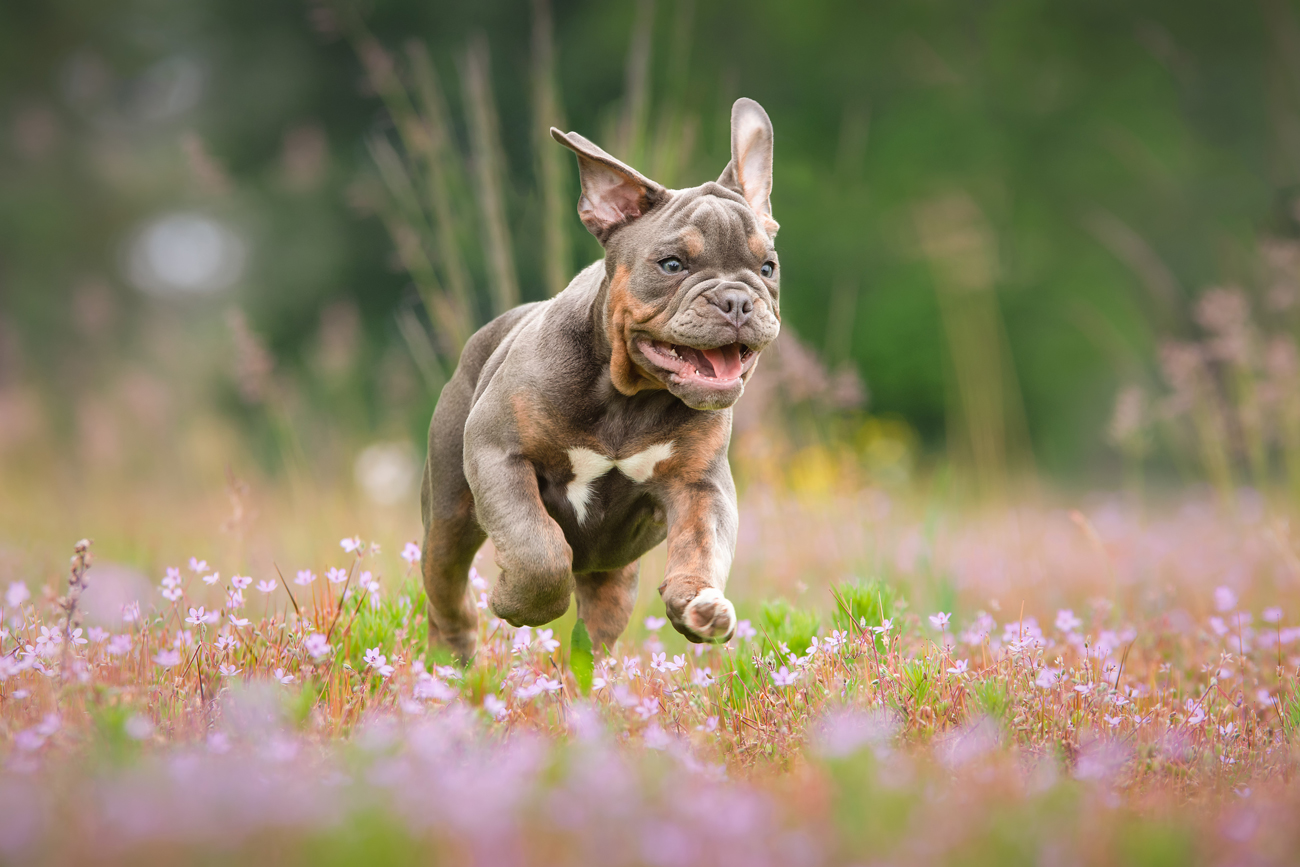 A bulldog running through a flowery meadow