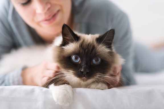 Blue eyed cat laying on bed with owner sitting behind stroking