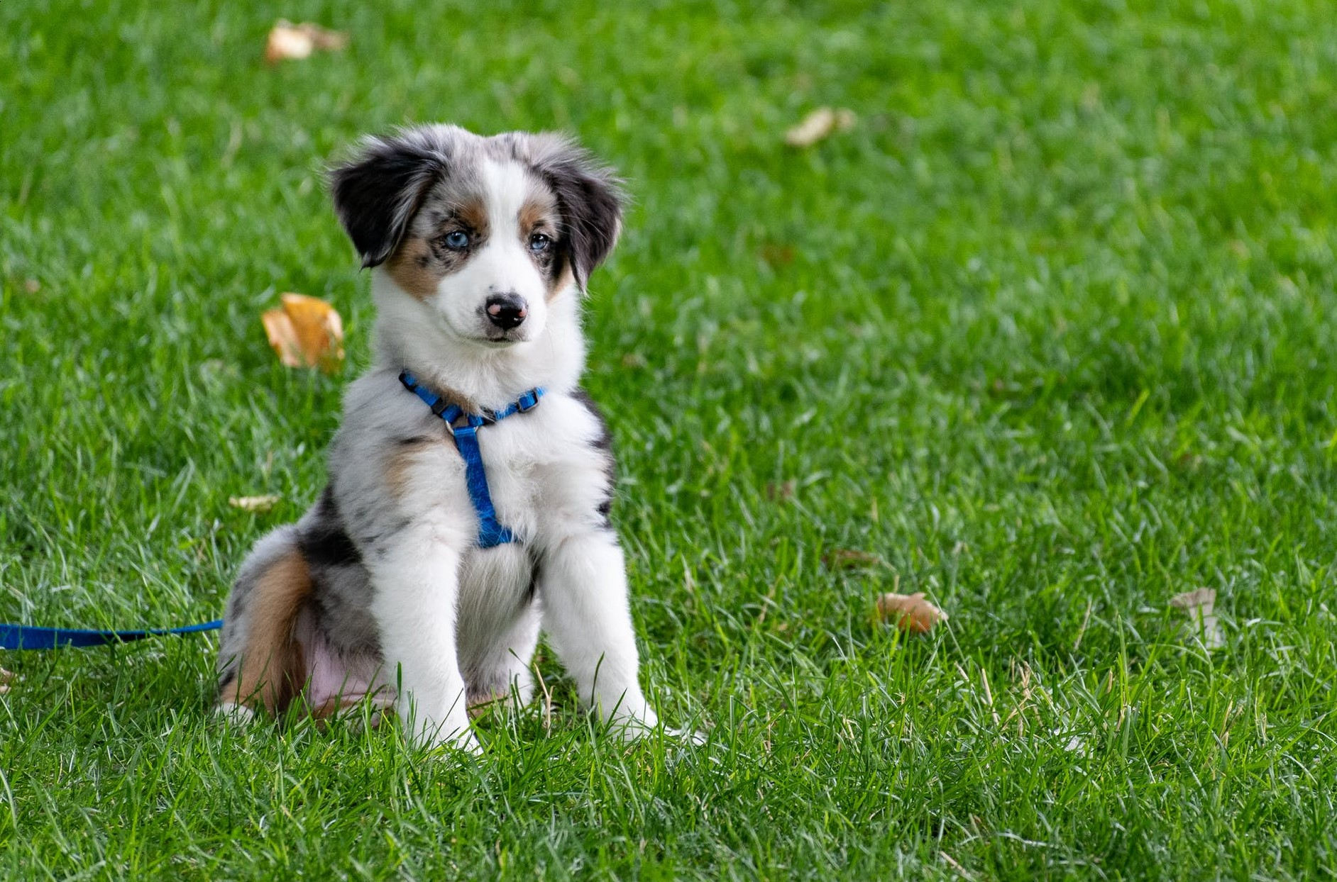 A puppy in a harness sitting on a garden lawn