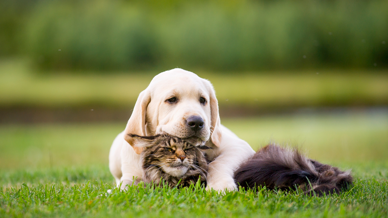 A Labrador and a cat laying together in a grass garden
