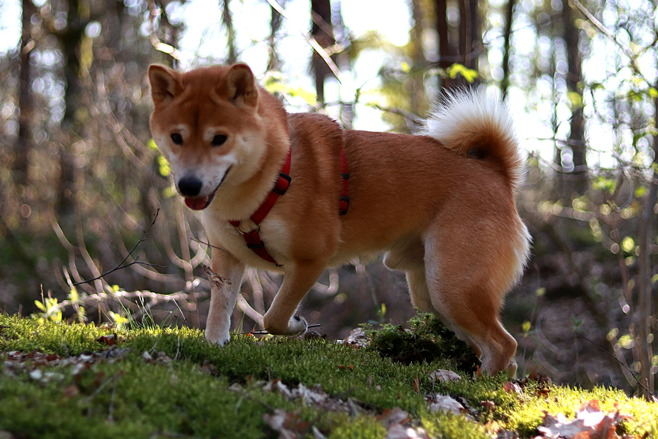 A Shiba Inu out on a walk in a wooded area