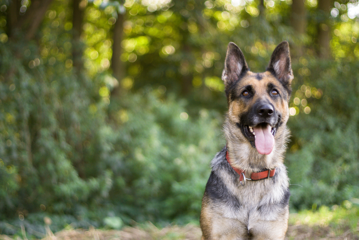 A German Shepherd dog sitting and panting while on a walk in woodlands