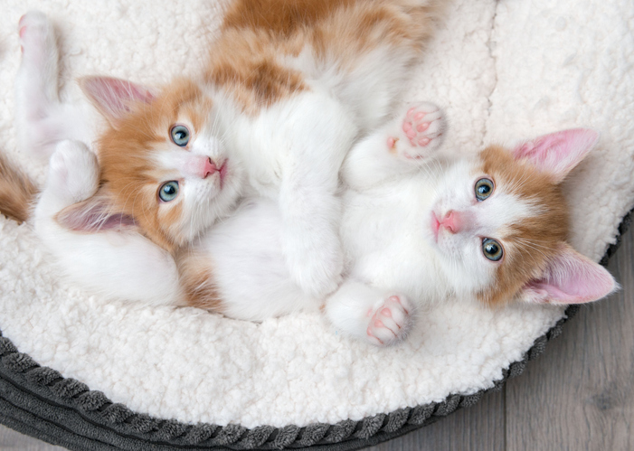 Two kittens laying in a bed together looking up