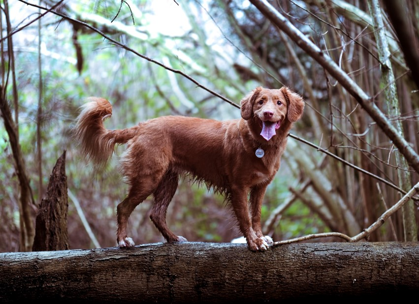 A brown dog standing on a log in a woodland area