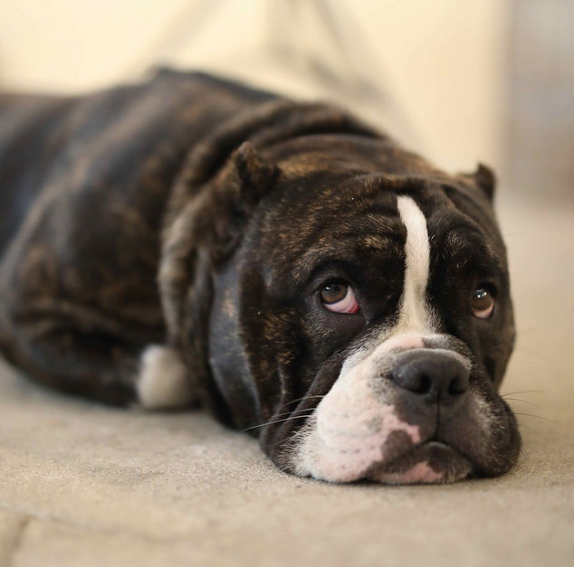 A boxer dog looking nervous laying down looking up