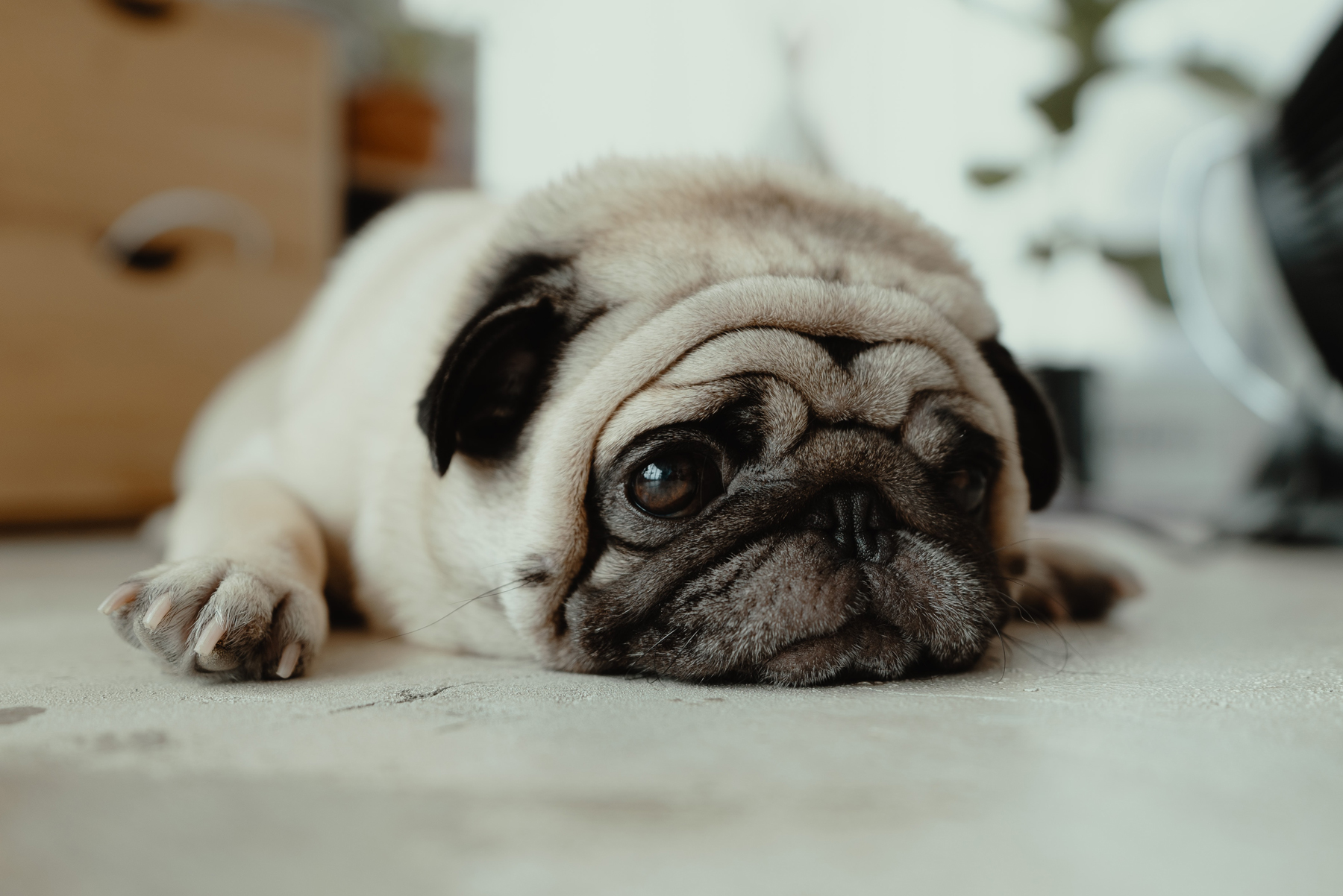 a sad looking pug laying on the floor