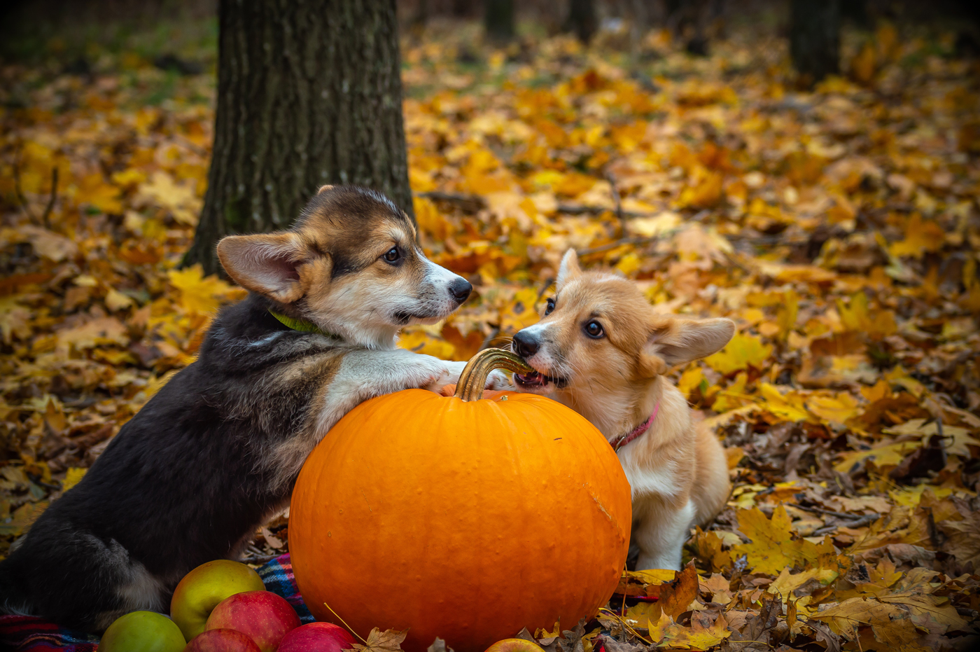 Two small dogs lying next to a pumpkin in a wooded area in autumn