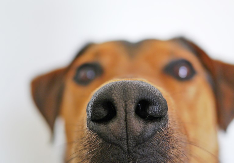 A dogs face up close with its nose in focus