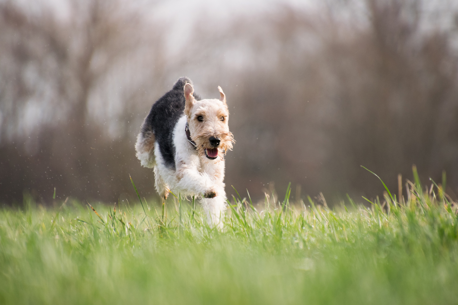 A dog running through a field