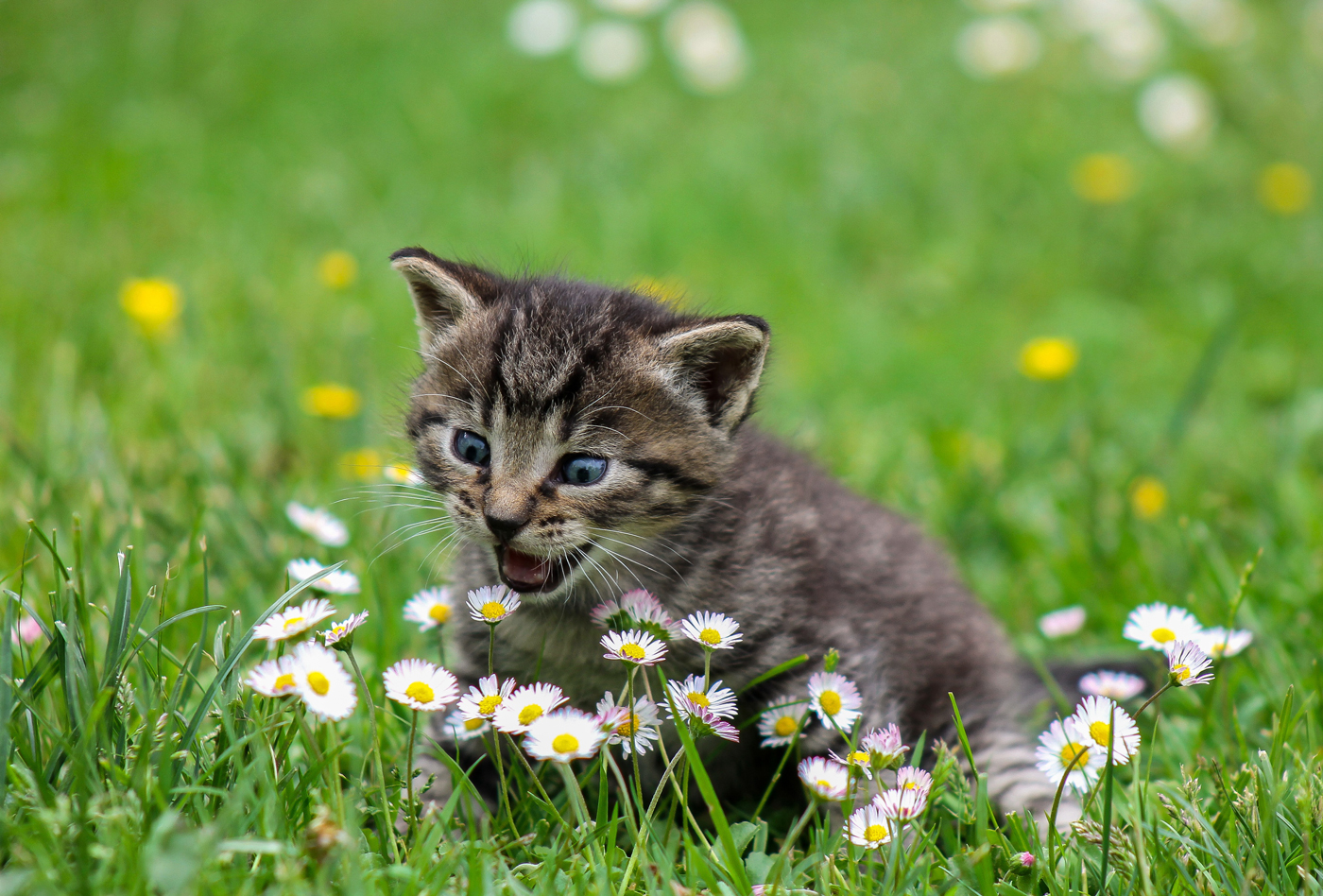 A kitten sitting on some grass in a garden about to eat a daisy