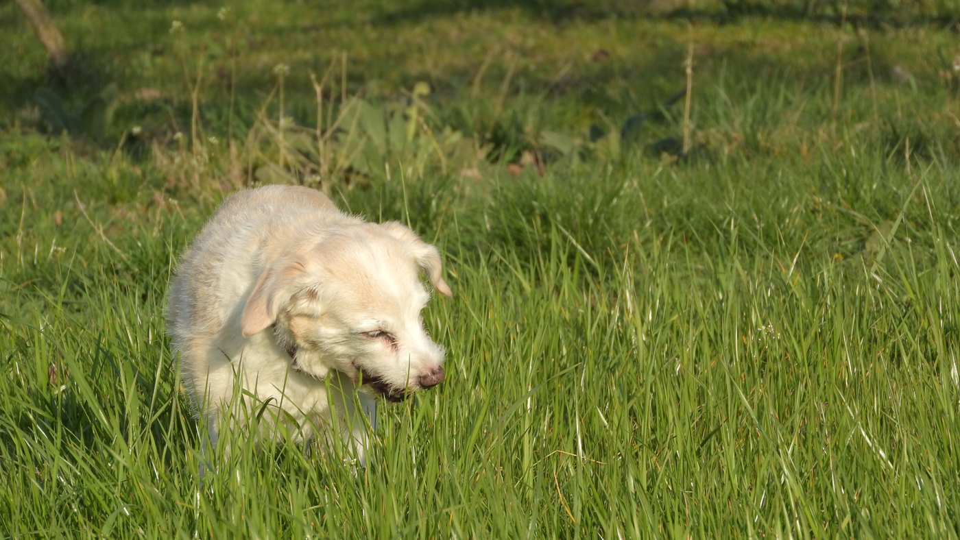 A dog in a field eating grass