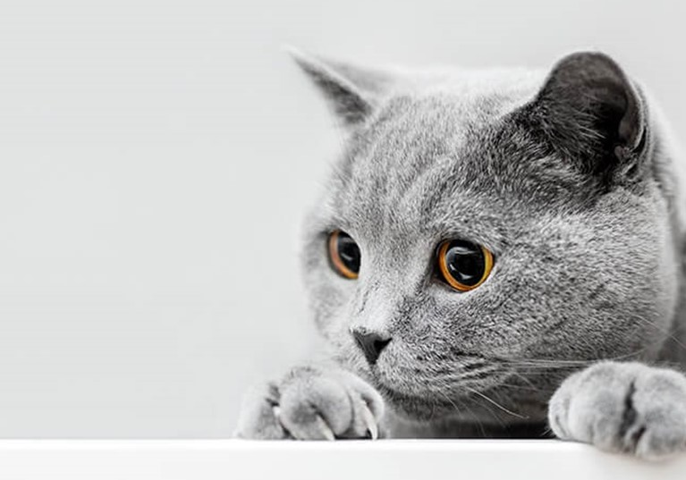 A grey cat peering over a ledge against a grey background
