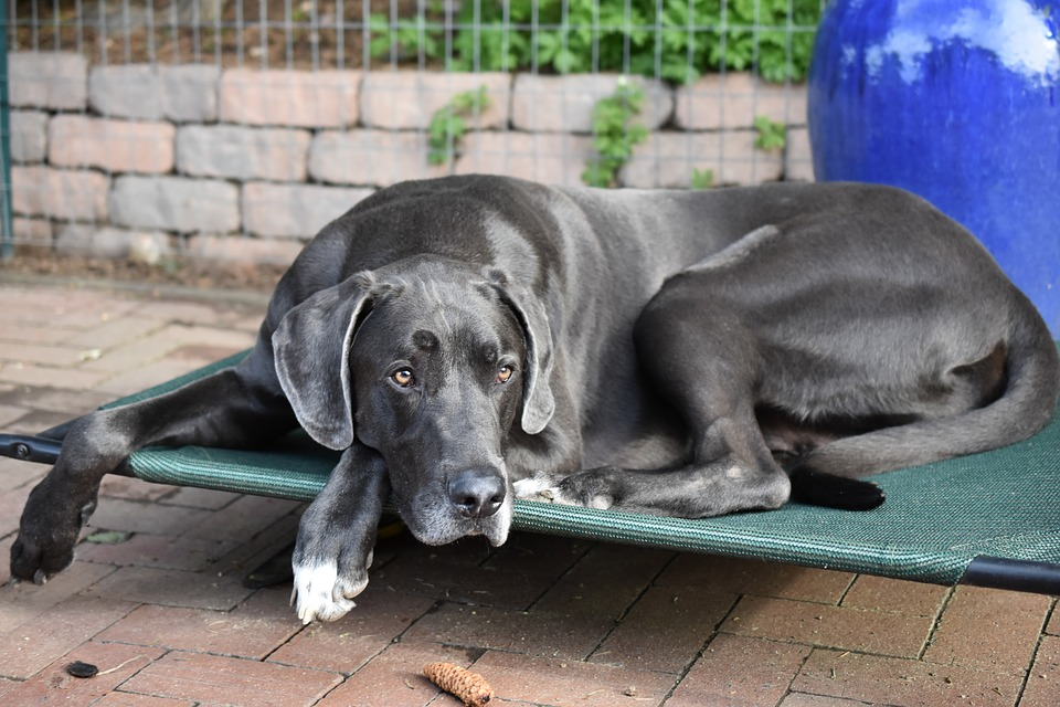 A Great Dane laying on a raised bed on a patio