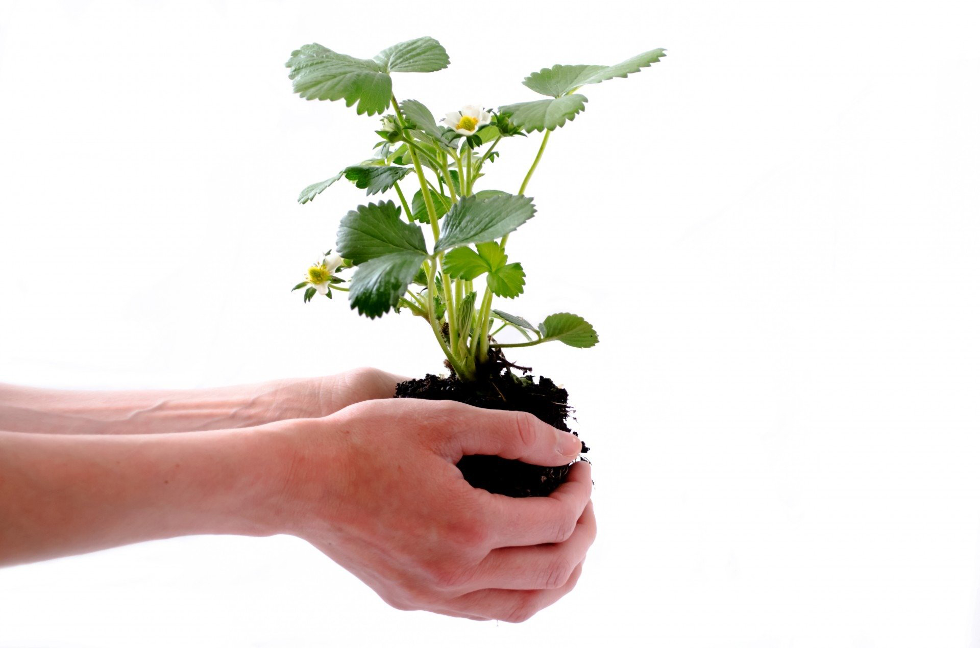 A pair of hands holding a plant in soil