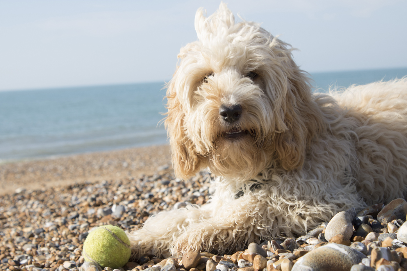 A fluffy Cockapoo breed of dog laying down with a tennis ball on a pebbly bech