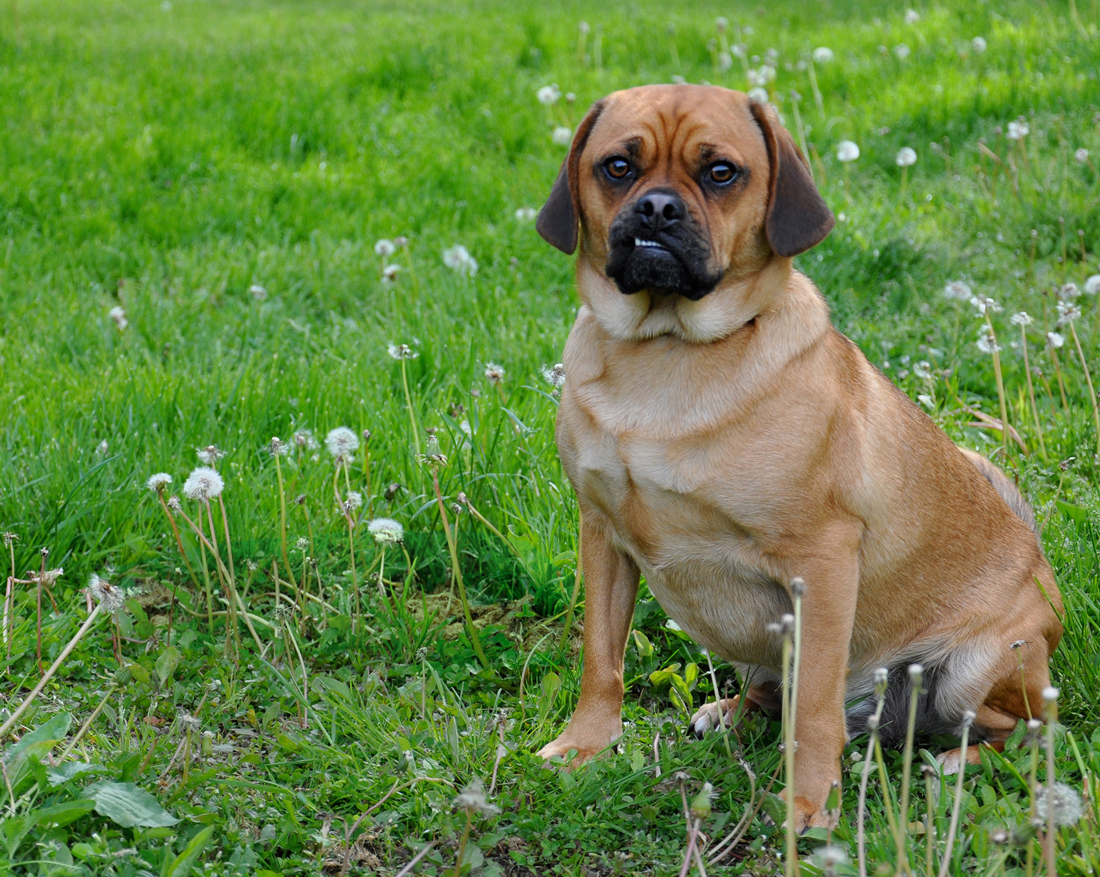 A Puggle sitting on a patch of grass