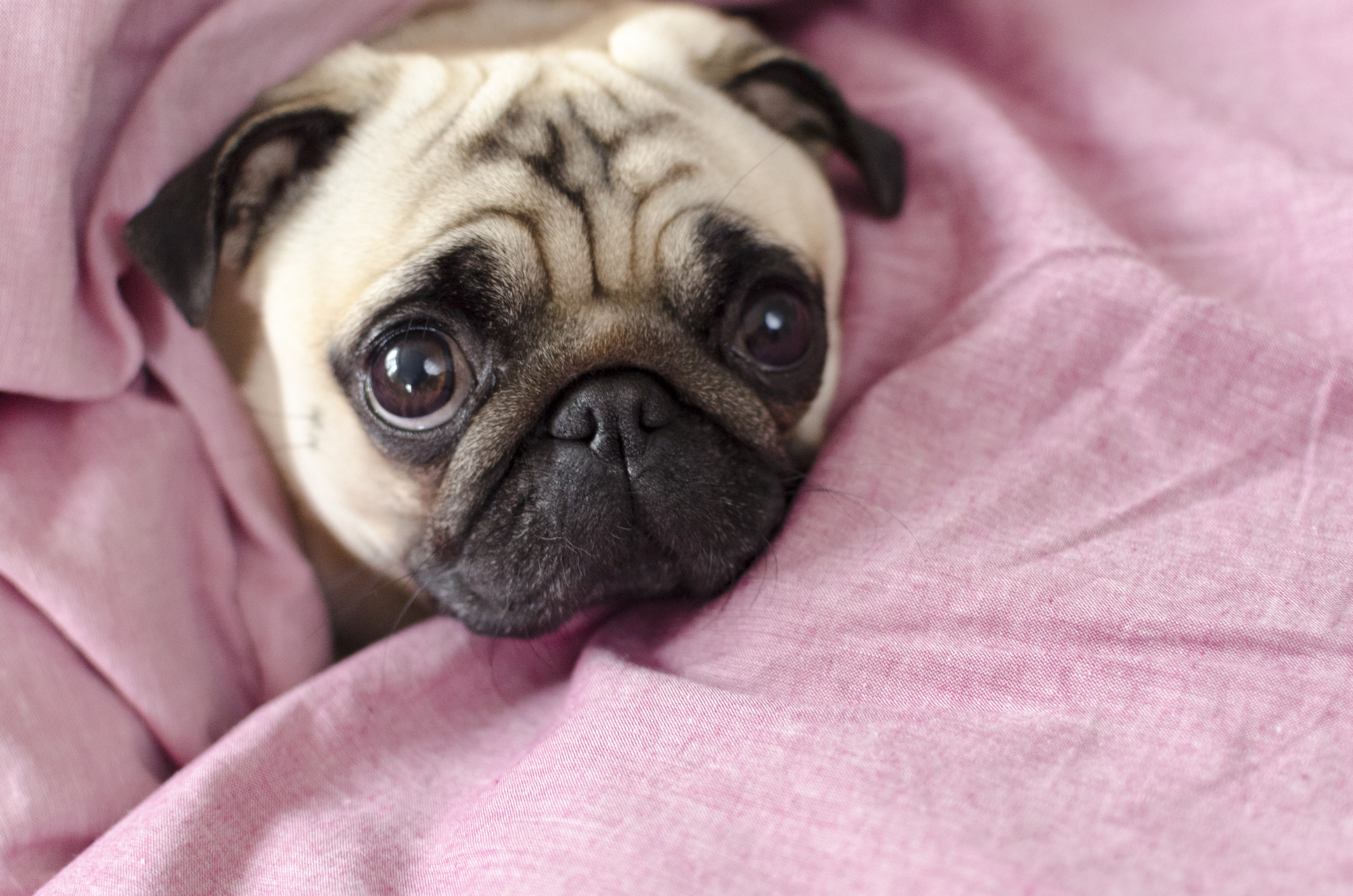pug wrapped up in a pink sheet with its head poking out