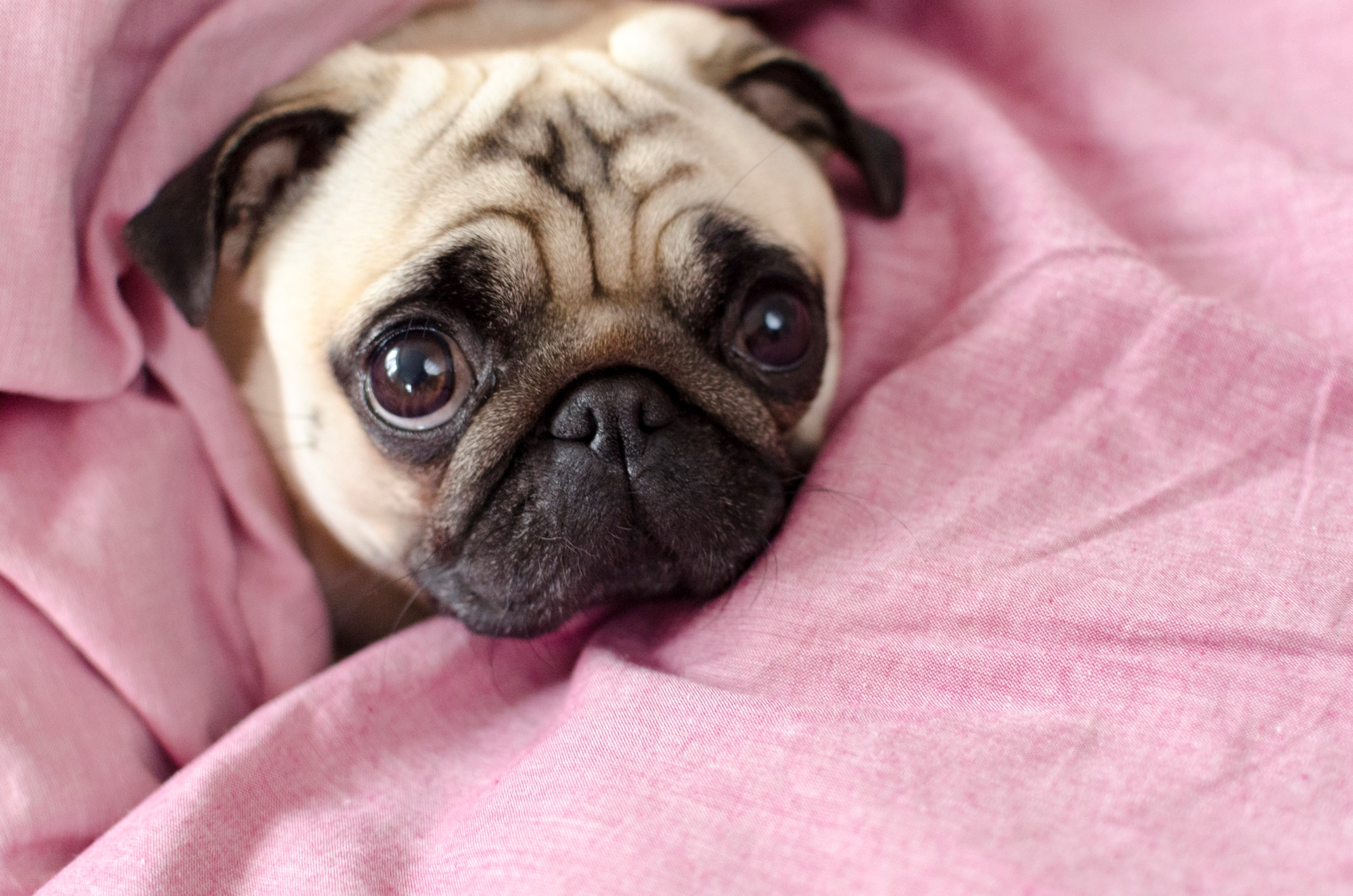 A Pug wrapped in a pink blanket