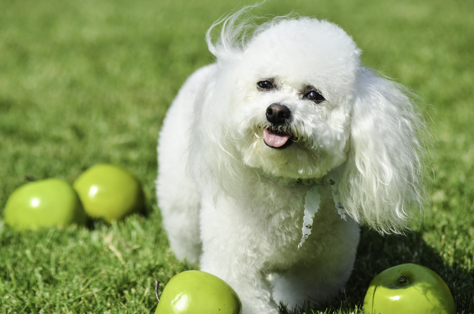 A Bichon Frise dog walking inbetween apples on some grass