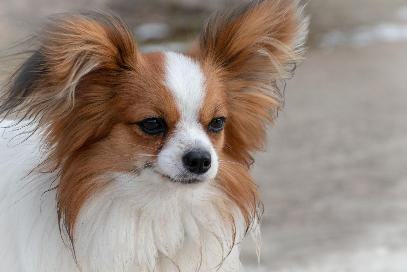 A Papillon breed of dog