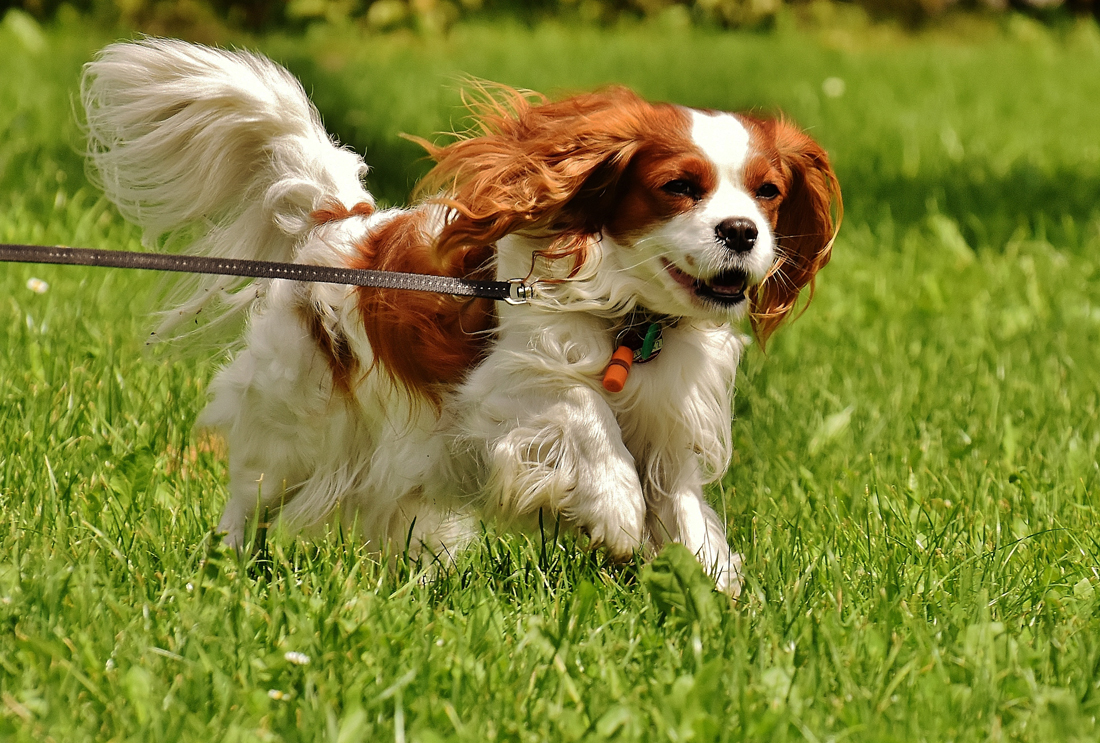 A Cavalier King Charles Spaniel running on a walk
