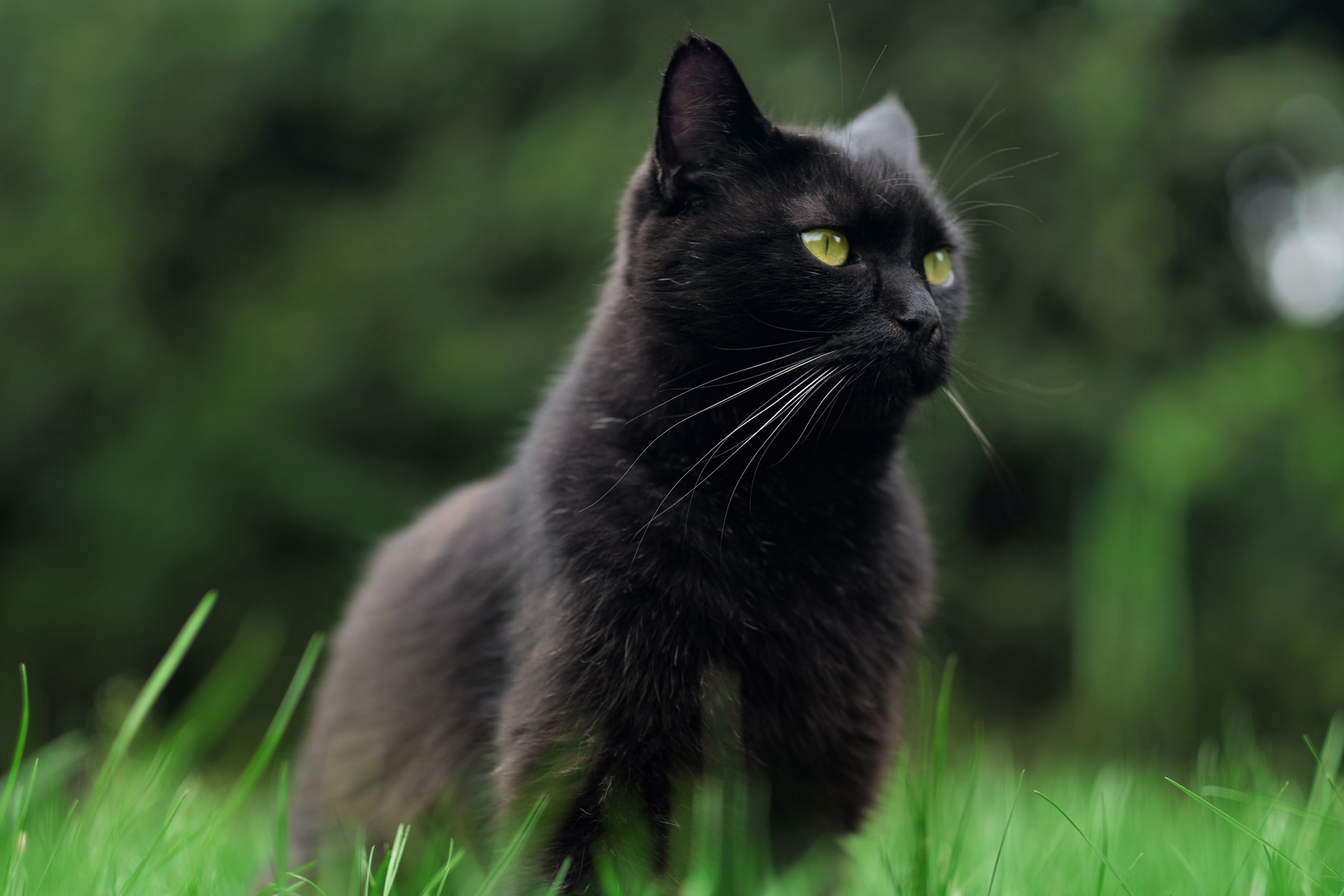 A black cat sitting on a patch of grass with trees in the background