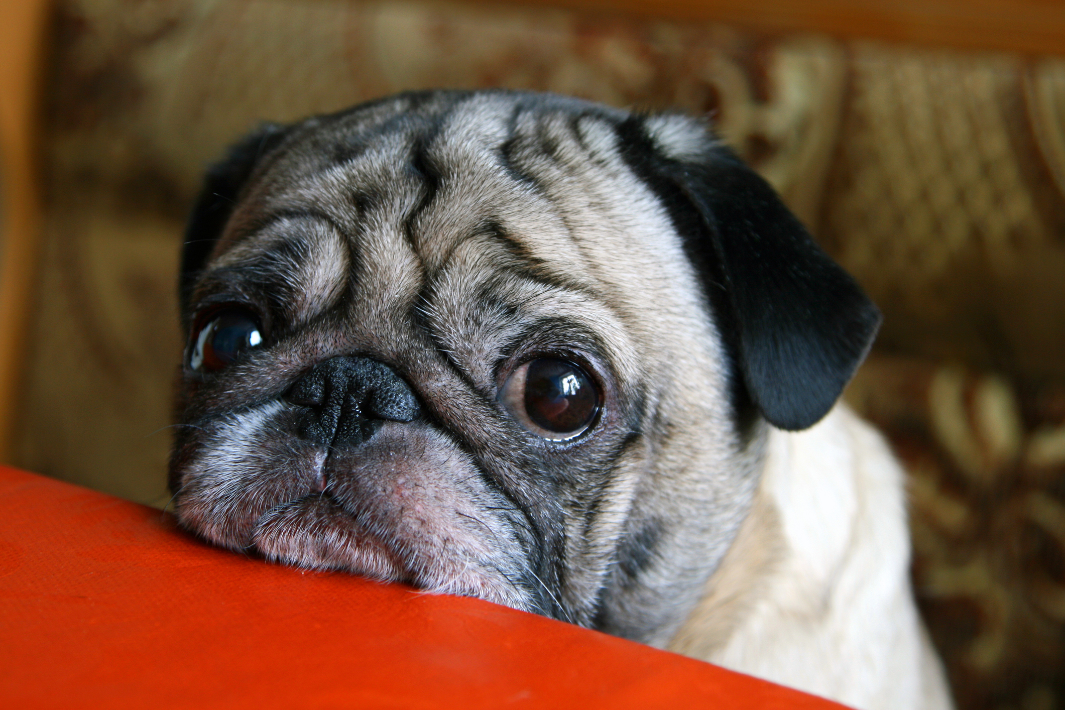 sad looking pug with its chin lent on a table during a timeout