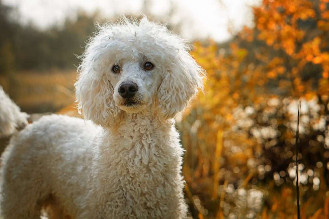 A poodle out on a walk in autumn