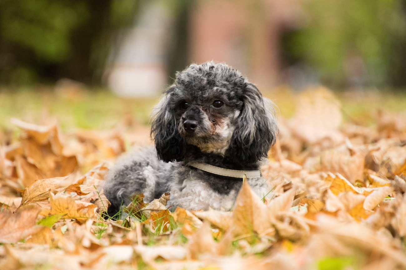 A dog laying down in fallen brown leaf litter