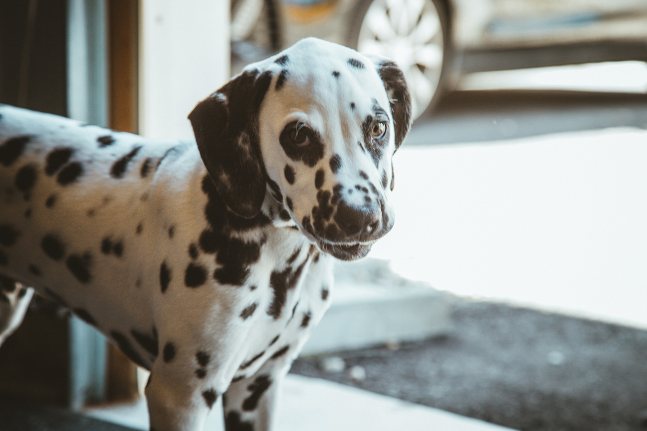 10 Things Every Dalmatian Owner Should Know