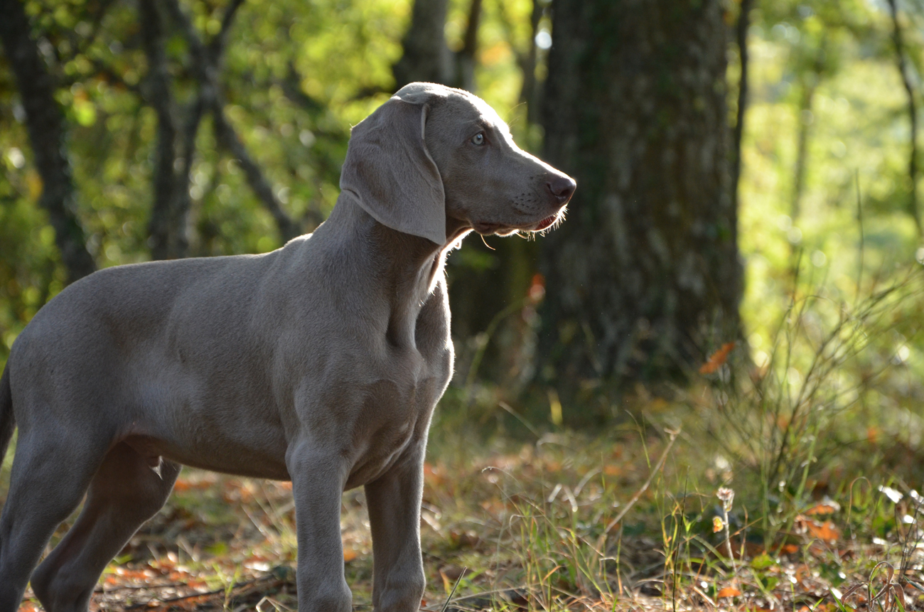 A Weimaraner poised out on a walk