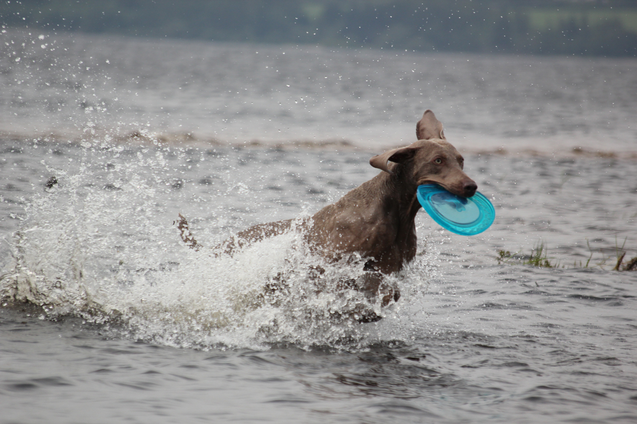 A dog running through a shallow part of an open water lake with a frisbee in its mouth