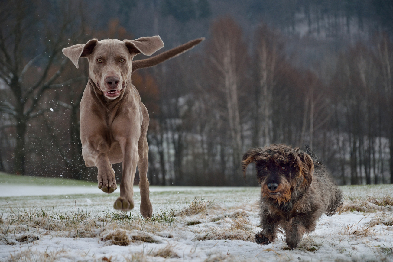 A Weimaraner and a small dog running across a snowy field