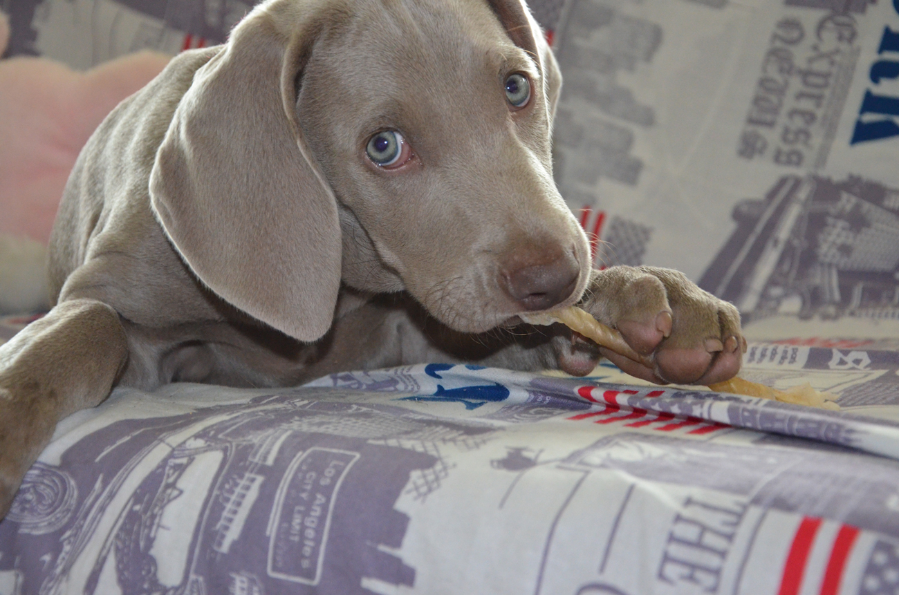A Weimaraner puppy laying on a bed chewing a treat