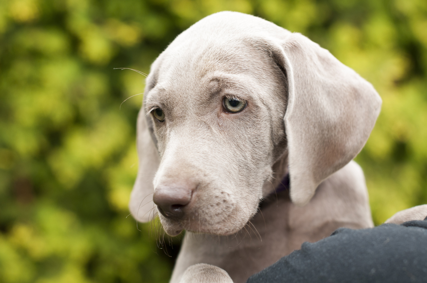 14 facts about Weimaraners