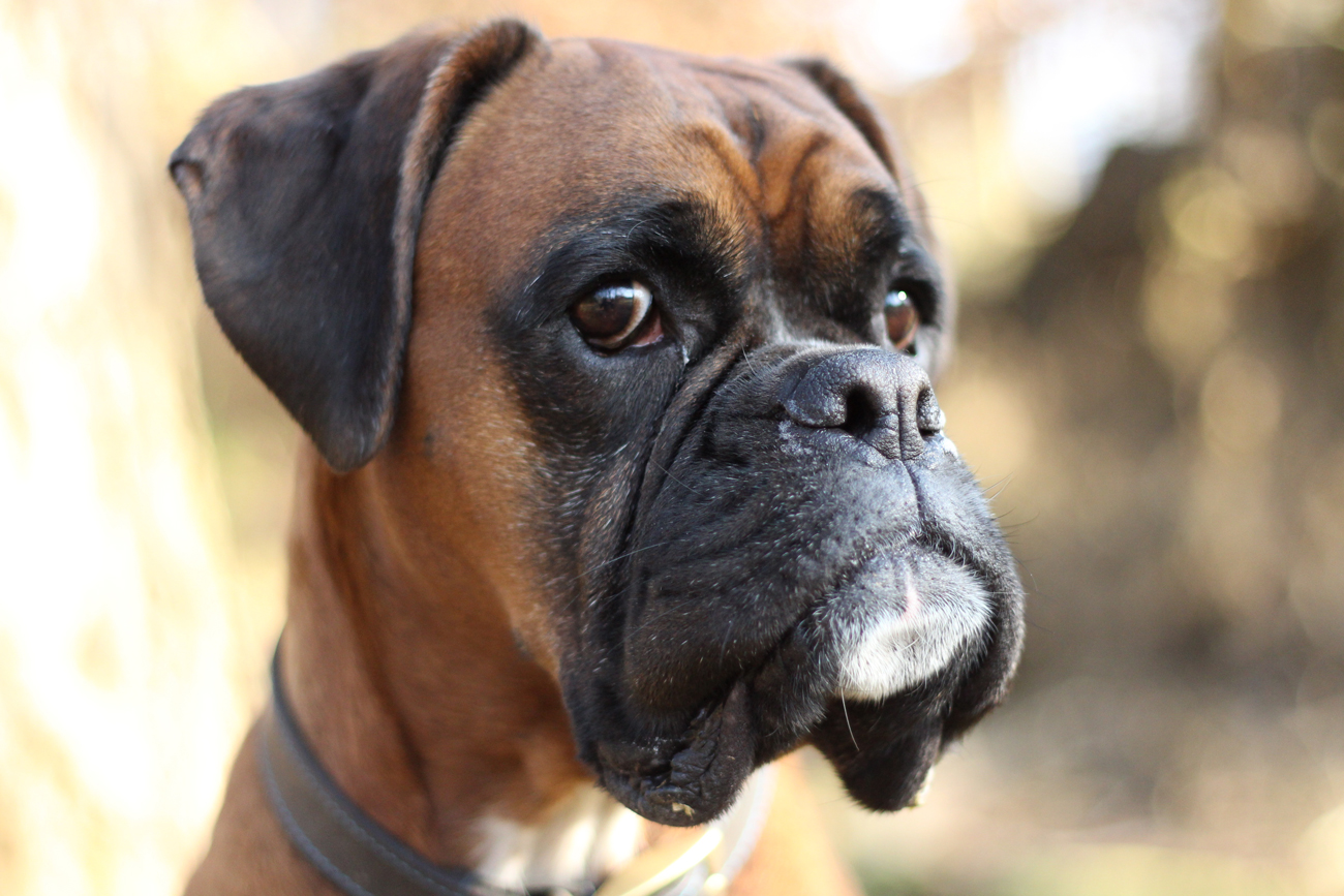 A Boxer dog in shallow depth