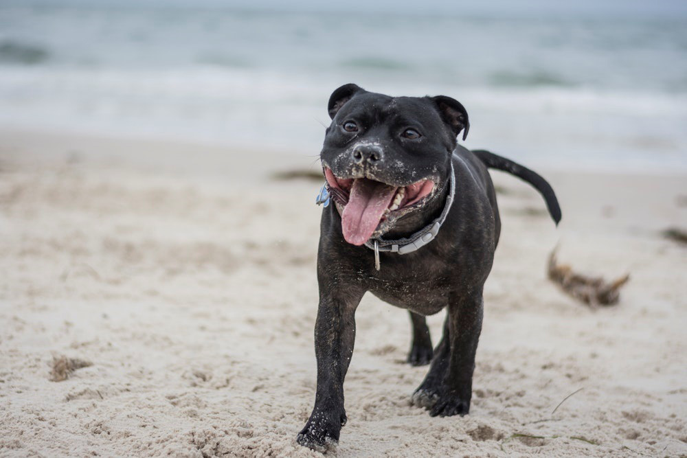 A dog walking on a sandy beach panting with sand around its mouth
