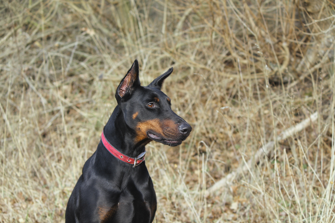 A Doberman Pinscher out for a walk with long grass behind