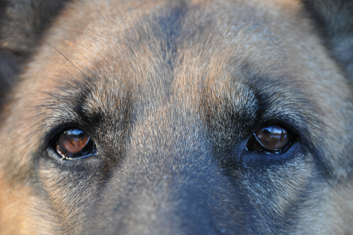 A close up on a dogs eyes