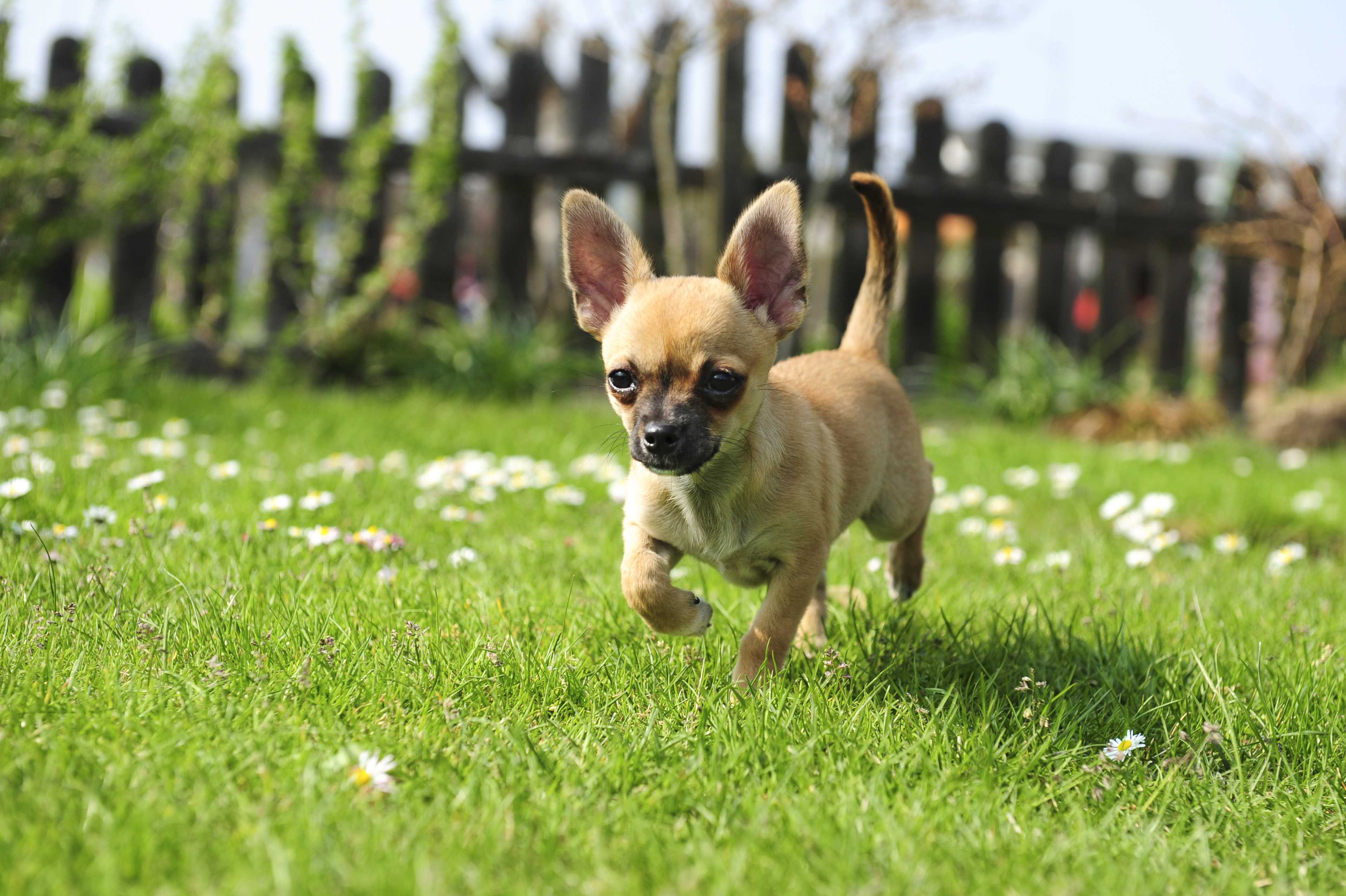 Study highlights common health problems in Chihuahuas