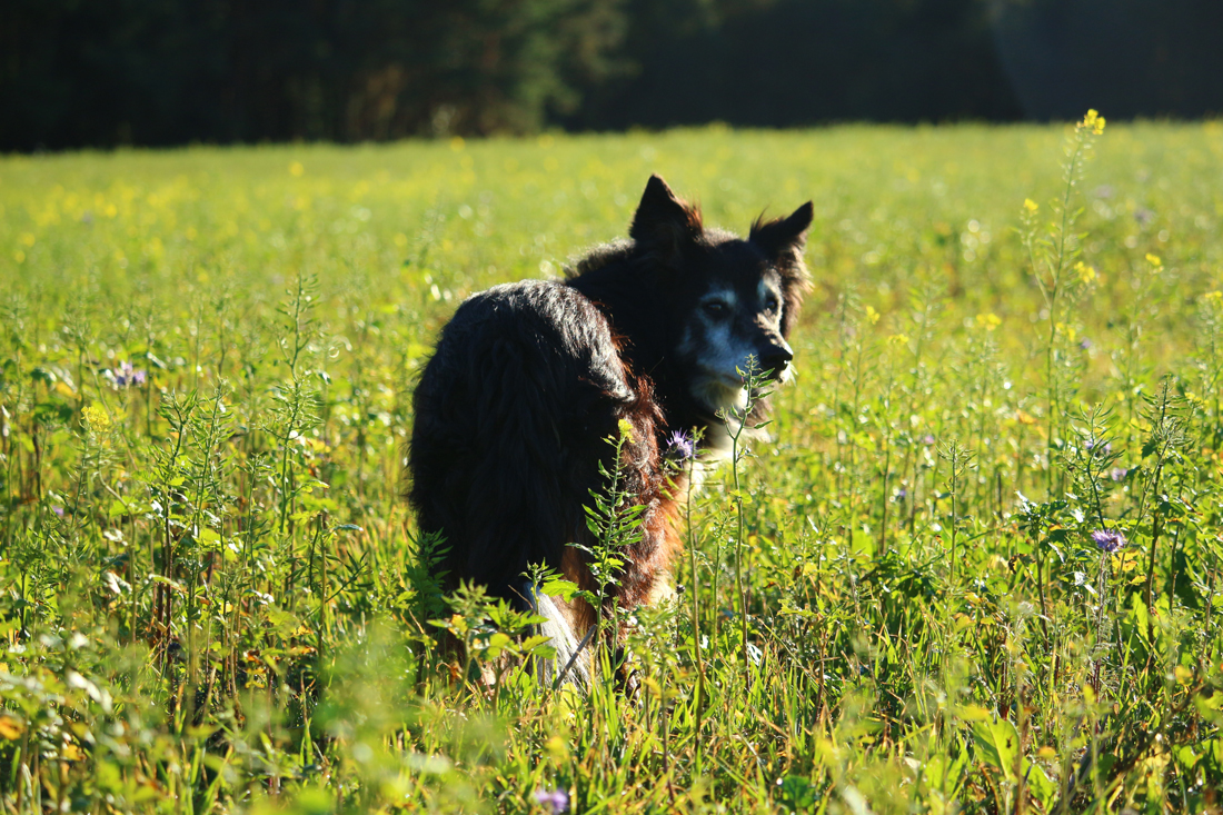 A dog looking back in a long grassed field at sunset