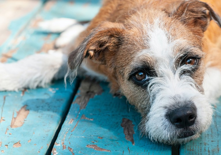 A dog laying on a wooden decking looking sad