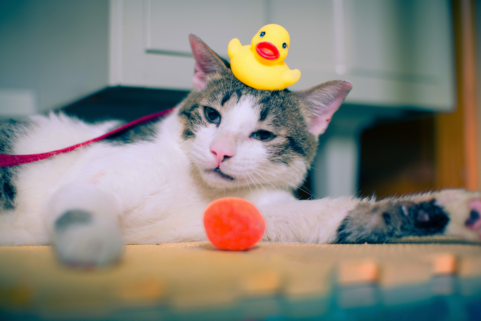 A cat playing with toys with a rubbe rduck on its head