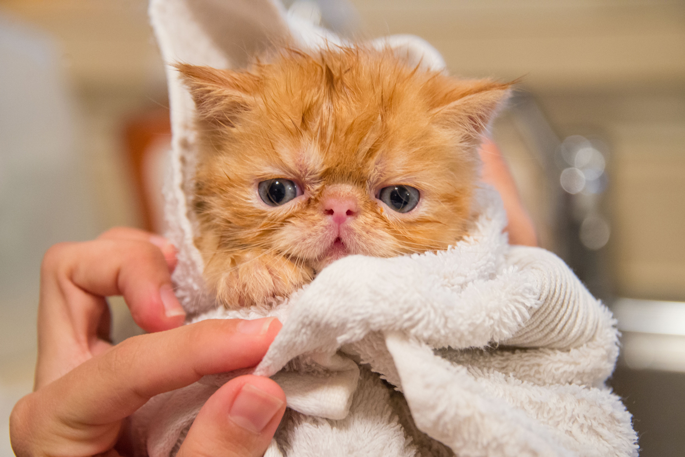 A kitten wrapped up in a towel