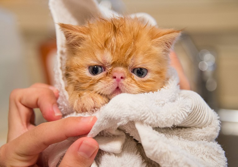 A fluffy ginger kitten wrapped in a towel