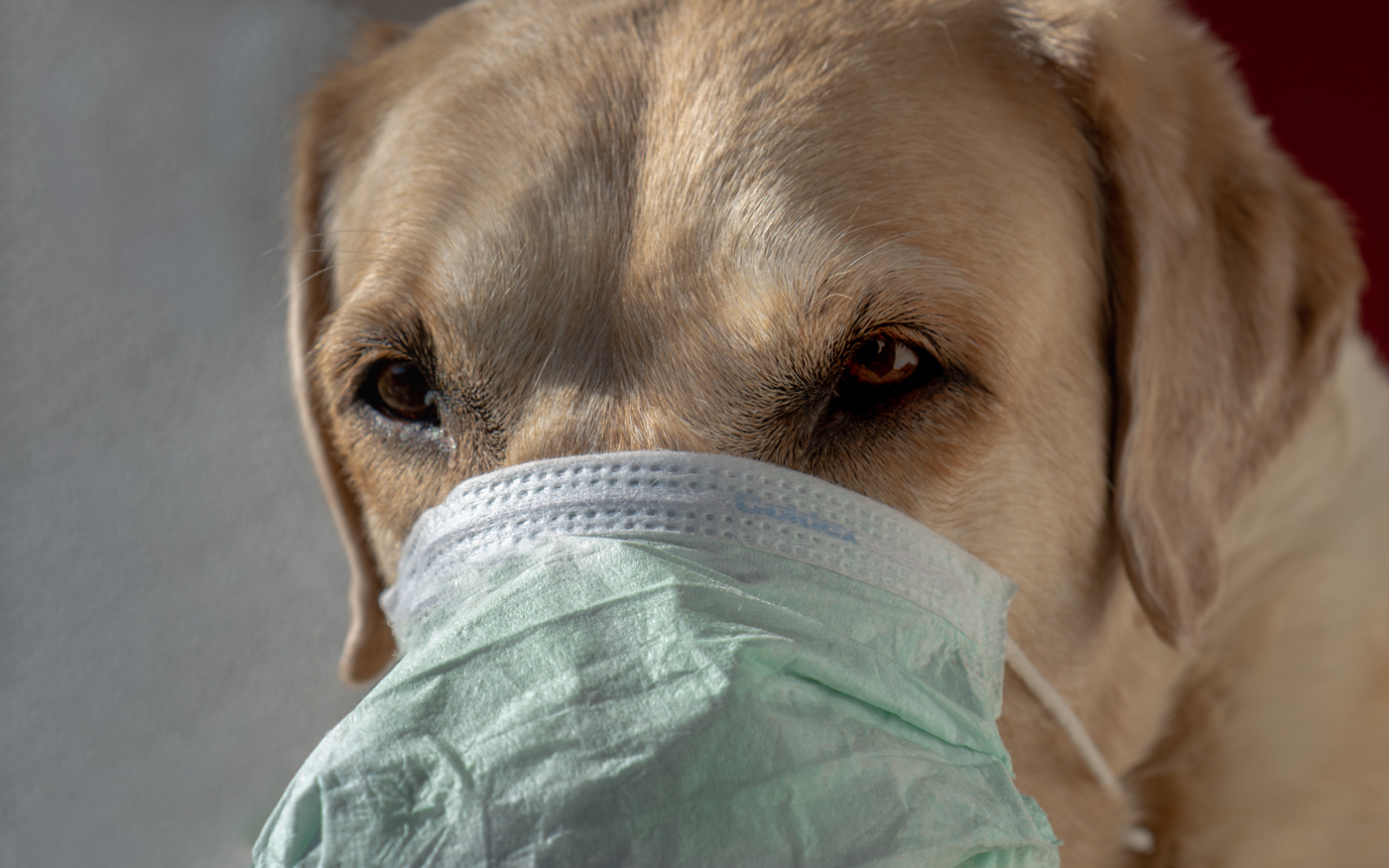 A Labrador with a medical mask covering its face